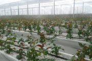 مدیر جهاد کشاورزی قائمشهر:۱۱۱ گلخانه مقیاس کوچک در قائمشهر ایجاد شده است